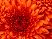 test1111~~:Chrysanthemum.jpg