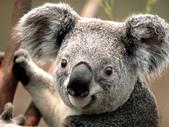 test060700:Koala.jpg