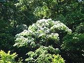 2009土城桐花節:DSC01542.jpg