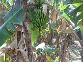 2009土城桐花節:DSC01559香蕉.jpg