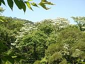 2009土城桐花節:DSC01573.jpg