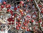 福壽山農場:DSC09864蘋果樹.jpg