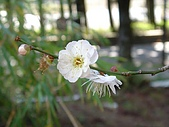 福壽山農場:DSC09889白色梅花正開.jpg