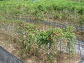 雙溪雙鐵低碳遊~梅竹蹊采風單車之旅:DSC09679雙溪三寶之一的山藥.jpg