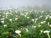 竹仔湖海芋季:
