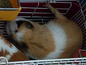 天豬:睡到翹腳