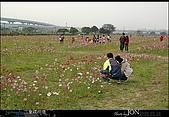 2008/3/16 疏洪道波斯菊:004.JPG