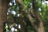 2011再訪中正紀念堂五色鳥(飛行版):IMG_6085.JPG