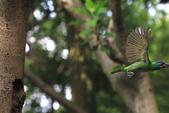 2011再訪中正紀念堂五色鳥(飛行版):IMG_6087.JPG