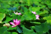 2015 白河蓮花:IMG_2391-1.jpg