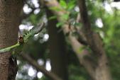 2011再訪中正紀念堂五色鳥(飛行版):IMG_6123.JPG