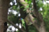 2011再訪中正紀念堂五色鳥(飛行版):IMG_6135.JPG