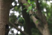 2011再訪中正紀念堂五色鳥(飛行版):IMG_6146.JPG