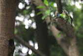 2011再訪中正紀念堂五色鳥(飛行版):IMG_6160.JPG