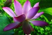 2015 白河蓮花:IMG_2357-1.jpg