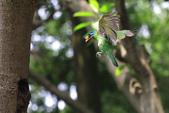 2011再訪中正紀念堂五色鳥(飛行版):IMG_6170.JPG