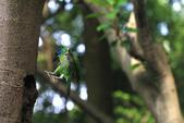 2011再訪中正紀念堂五色鳥(飛行版):IMG_5955.jpg