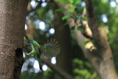 2011再訪中正紀念堂五色鳥(飛行版):IMG_5969.jpg