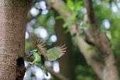 2011再訪中正紀念堂五色鳥(飛行版):IMG_5993.JPG