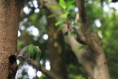 2011再訪中正紀念堂五色鳥(飛行版):IMG_6030.JPG