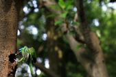 2011再訪中正紀念堂五色鳥(飛行版):IMG_6052.JPG