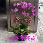 仙客來花坊:O-268(G).jpg