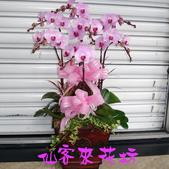 仙客來花坊:O-260(G).jpg