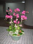 仙客來花坊:蝴蝶蘭
