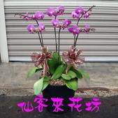仙客來花坊:O-271(G).jpg
