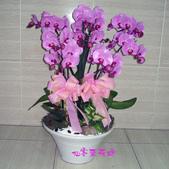 仙客來花坊:O-246(G).jpg