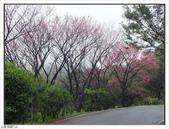 山霧山櫻:山霧櫻花 (31).jpg