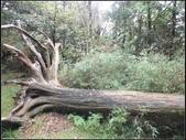 太平山莊、鐵杉林步道、原始森林步道:鐵杉林步道 (6).jpg