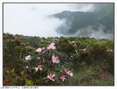 巨齒稜紅星杜鵑花:巨齒稜紅星杜鵑 (2).jpg