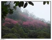 山霧山櫻:山霧櫻花 (7).jpg