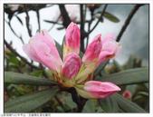 巨齒稜紅星杜鵑花:巨齒稜紅星杜鵑 (69).jpg