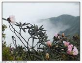 巨齒稜紅星杜鵑花:巨齒稜紅星杜鵑 (60).jpg