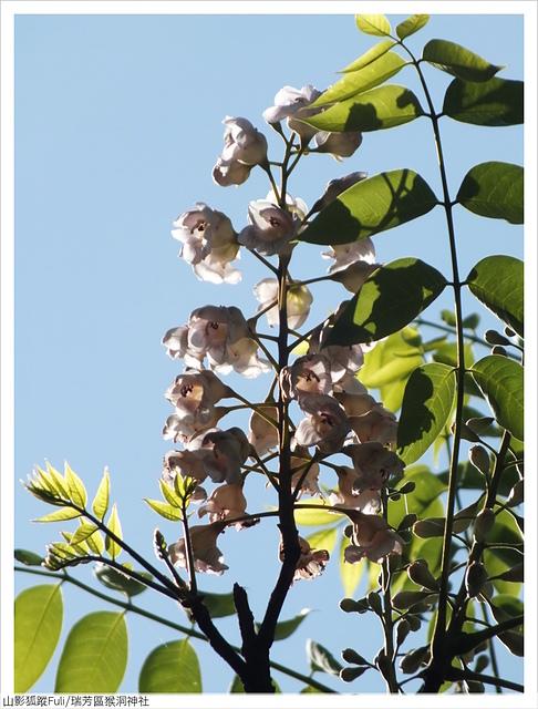 猴洞神社 (55).JPG - 猴洞神社鐘萼木