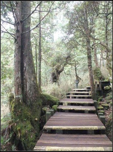 太平山莊、鐵杉林步道、原始森林步道:鐵杉林步道 (10).png