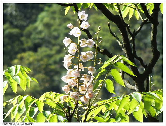 猴洞神社 (45).JPG - 猴洞神社鐘萼木