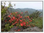 巨齒稜紅星杜鵑花:巨齒稜紅星杜鵑 (16).jpg