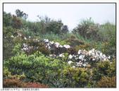 巨齒稜紅星杜鵑花:巨齒稜紅星杜鵑 (59).jpg