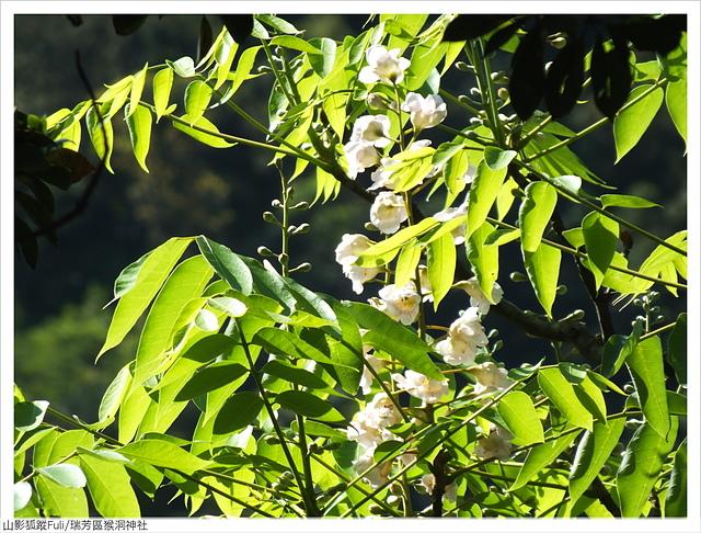 猴洞神社 (47).JPG - 猴洞神社鐘萼木