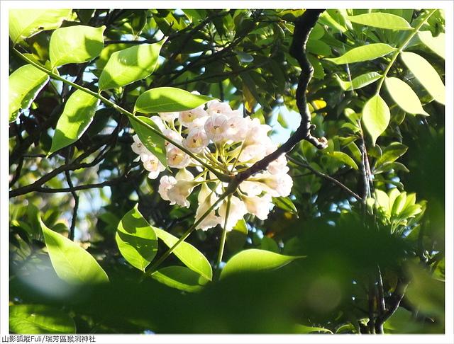 猴洞神社 (58).JPG - 猴洞神社鐘萼木