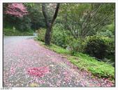 山霧山櫻:山霧櫻花 (10).jpg