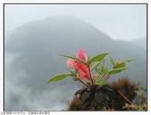巨齒稜紅星杜鵑花:巨齒稜紅星杜鵑 (103).jpg