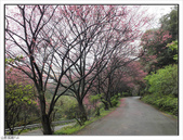 山霧山櫻:山霧櫻花 (38).jpg