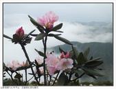 巨齒稜紅星杜鵑花:巨齒稜紅星杜鵑 (72).jpg