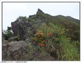 巨齒稜紅星杜鵑花:巨齒稜紅星杜鵑 (15).jpg
