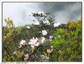 巨齒稜紅星杜鵑花:巨齒稜紅星杜鵑 (79).jpg