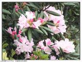 巨齒稜紅星杜鵑花:巨齒稜紅星杜鵑 (49).jpg